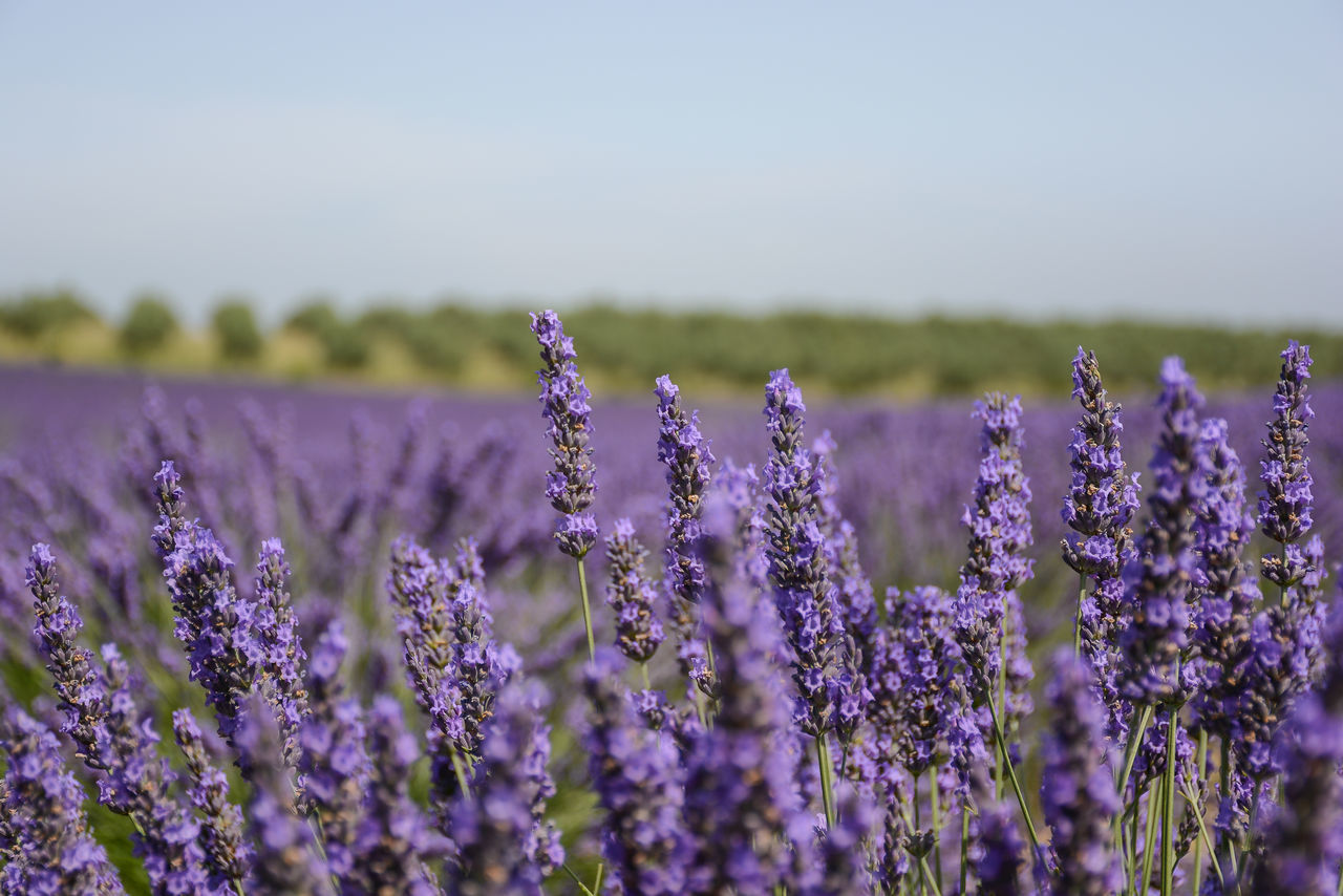 purple, field, lavender, nature, lavender colored, growth, beauty in nature, flower, agriculture, plant, selective focus, rural scene, day, tranquility, fragility, no people, scenics, outdoors, landscape, freshness, close-up