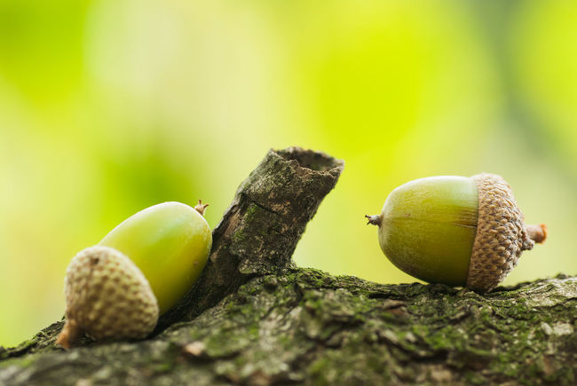 Acorn Close-up Day Focus On Foreground Green Color Macro Nature No People Outdoors Wildlife