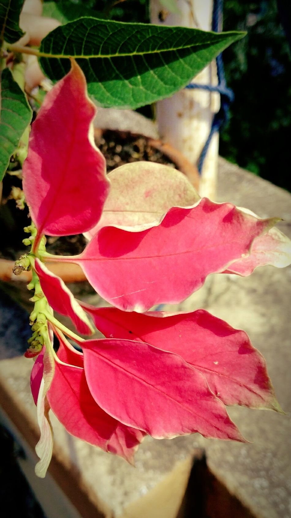 Pink Leaves Freshness Pink Color Nature EyeEmNewHere Millennial Pink Plant Close-up Outdoors Fragility Beauty In Nature Freshness Natural Colours Nature Photography