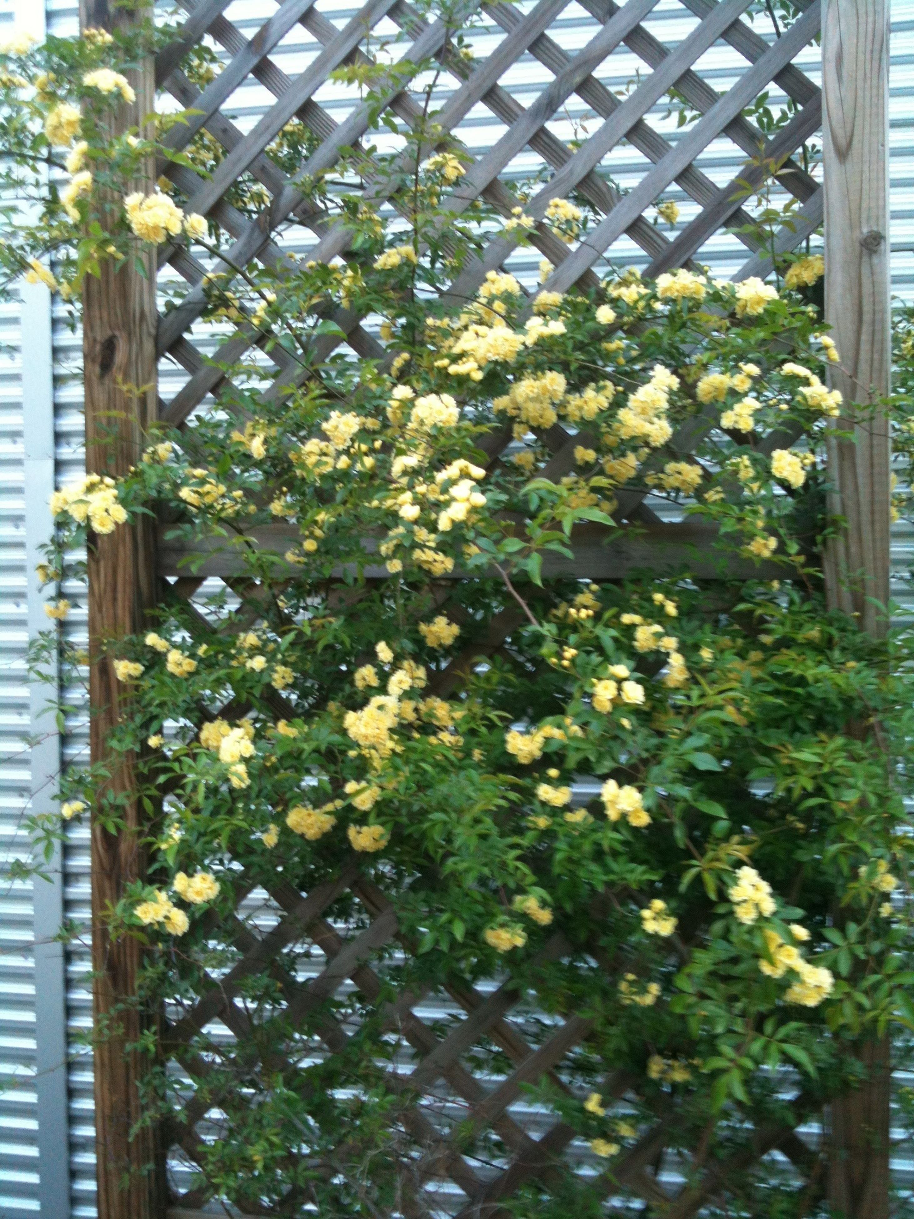 flower, growth, freshness, plant, leaf, fragility, nature, beauty in nature, fence, potted plant, petal, green color, day, front or back yard, outdoors, in bloom, growing, blooming, wood - material, white color