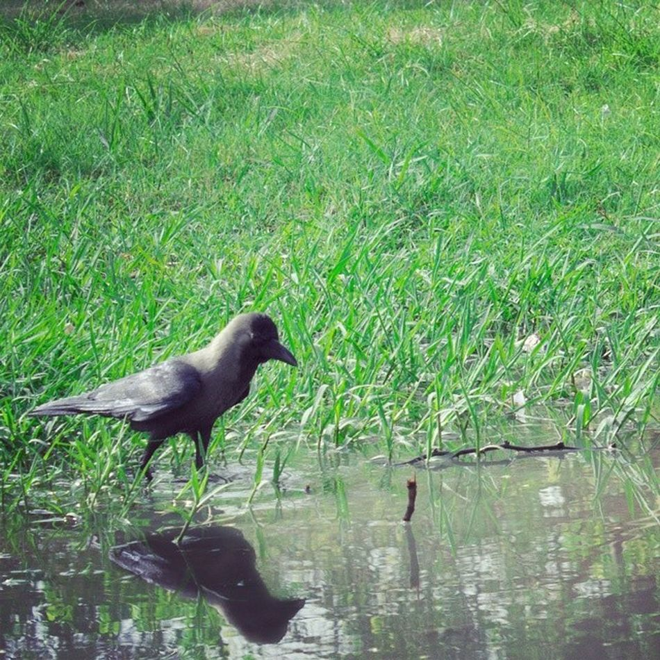 Thirsty Crow. Thirst Crow High Temperature Celsius Hot Weather Reflection Water Grass Instaclick Instathis Green Picture Picoftheday Instashot