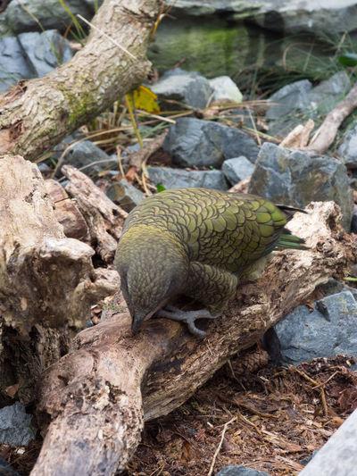 Native New Zealand bird the Kea Native Bird Animal Themes Animal Wildlife Animals In The Wild Bird Kea Native Bird Of New Zealand Nature One Animal Outdoors