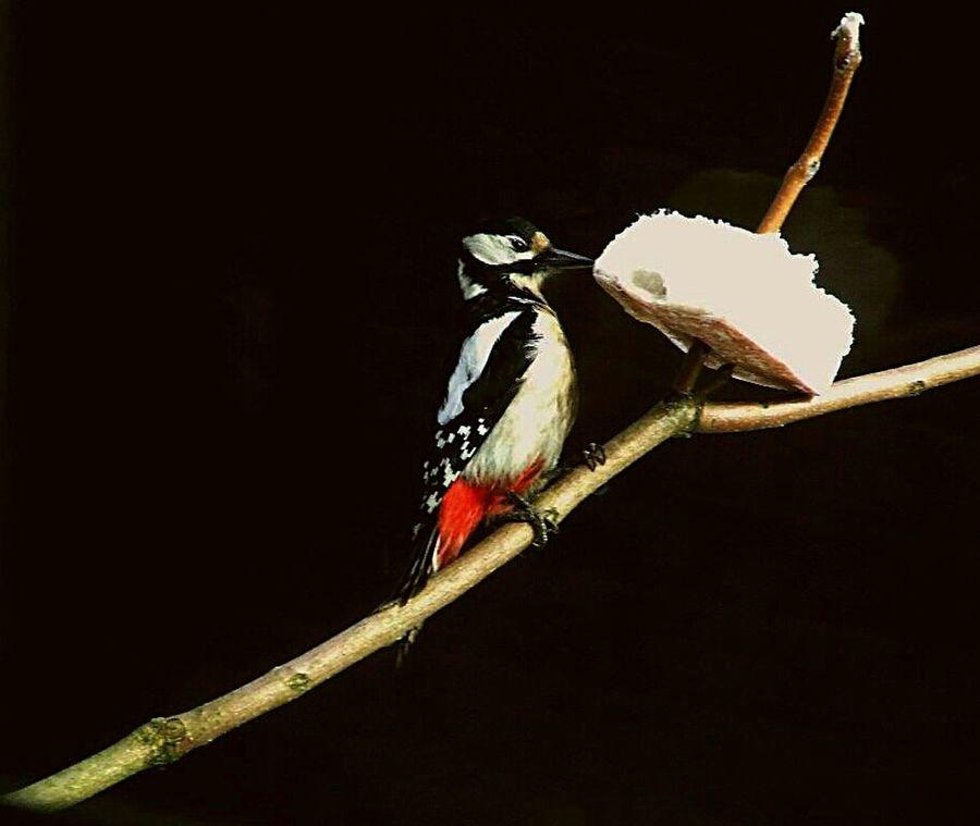 Great Spotted Woodpecker ( Dendrocopos major ) Woodpecker Beautiful Nature Birds In My Garden