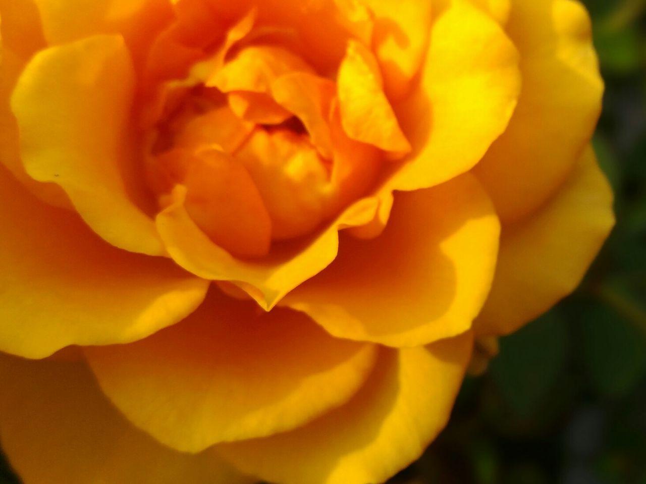 Rose🌹 Rose♥ Rose Collection Roses_collection Roses Roses🌹 Yellow Yellow Flower Yellow Rose Yellow Rose🌹 Yellow Roses Yellow Rose... Close-up Flower Flowers Flower Lover Flower Lovers Rosé Rose - Flower Closeup Cute♡ Cute Beauty In Nature