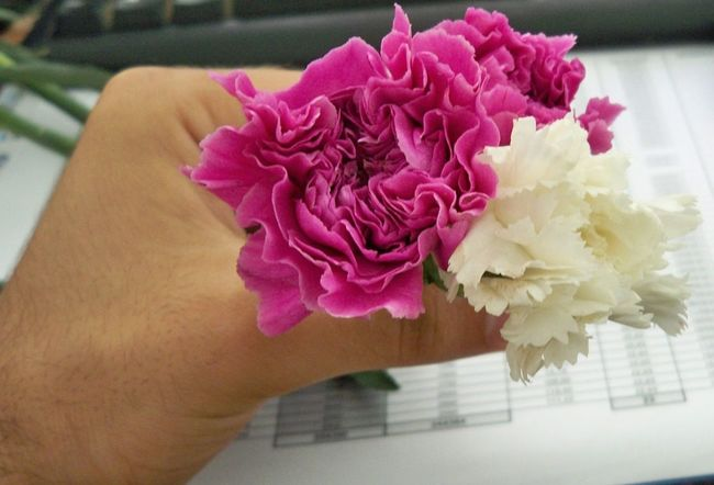 Oeillet Carnation Flowers Production Flowers Azemour Morocco