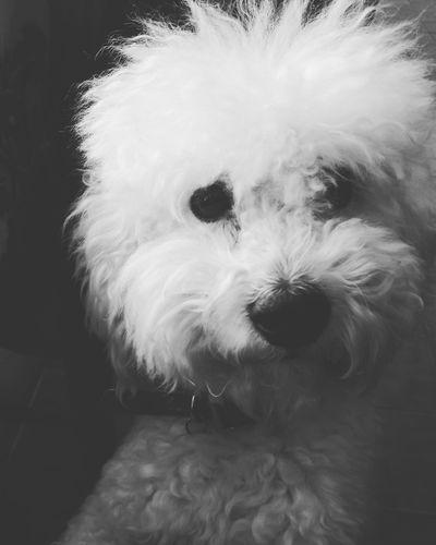 caniche Argentina Mirada  Miperro Canichetoy Blancoynegro Blackandwhite Caniche Fotografie Perrosdeinstagram Perro Pets Dog One Animal Domestic Animals Cute Animal Animal Hair Animal Themes Portrait Puppy No People
