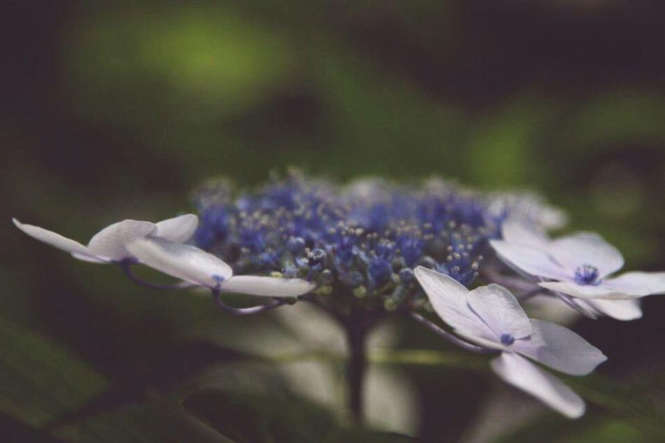Hydrangea Violet Blue Flower