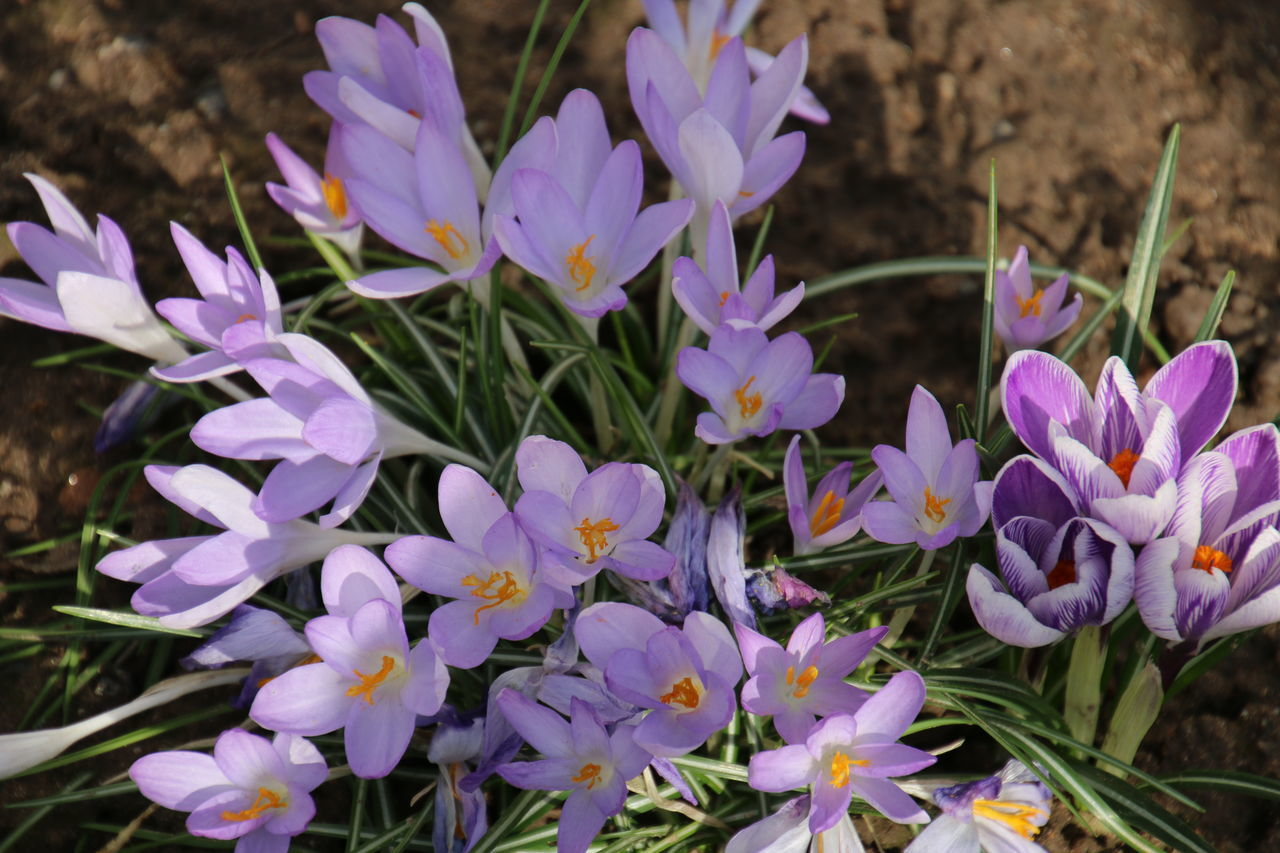 flower, petal, growth, plant, nature, purple, beauty in nature, fragility, blooming, freshness, flower head, no people, outdoors, day, close-up, crocus