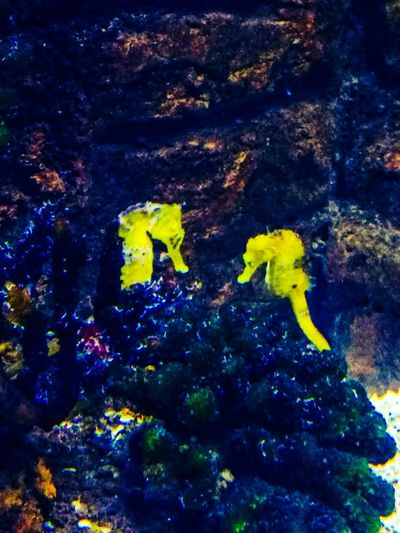 When two lovers reconnect Yellow Taken On Mobile Device Taken On My Phone Huaweiphotography HuaweiP9 Multi Colored Animal Themes Seahorse Sea Life Underwater Sea Life Centre Coral Reef Corals