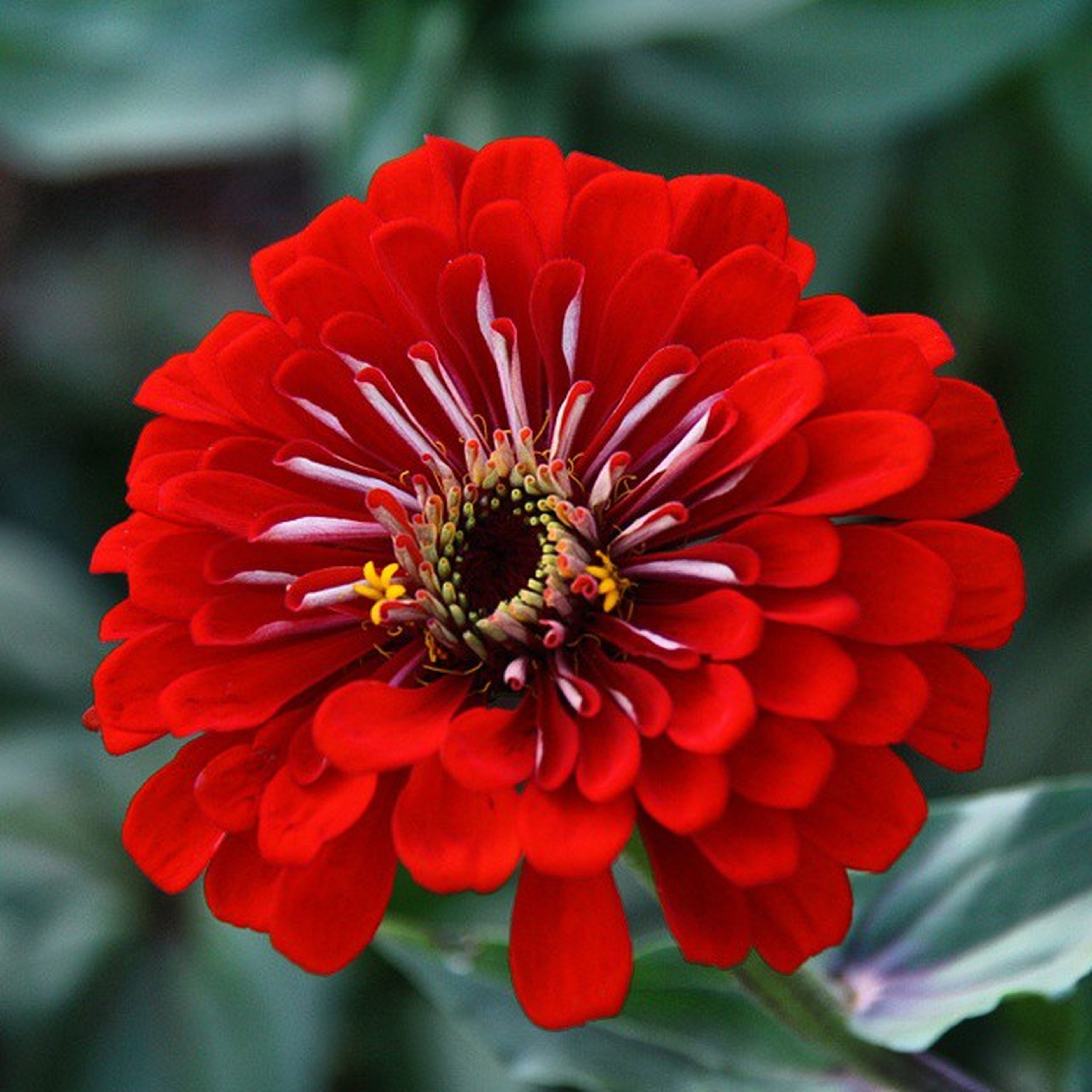 flower, petal, flower head, freshness, fragility, red, focus on foreground, close-up, beauty in nature, growth, blooming, pollen, single flower, nature, plant, in bloom, orange color, day, no people, outdoors