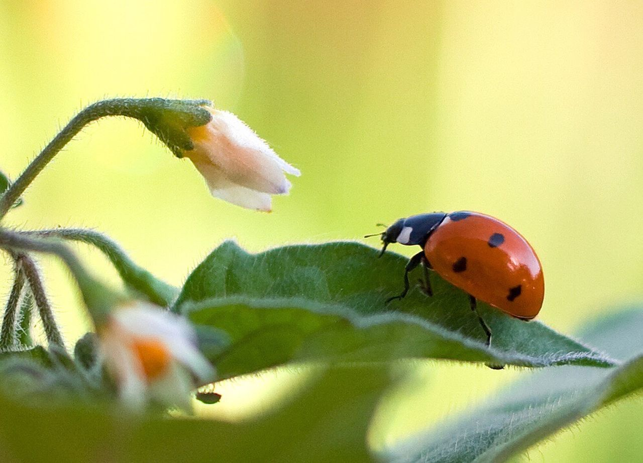 Ladybeetle Ladybug🐞 Ladybird Beauty In Nature Outdoors No People Leaf 🍂 Green Plant Flower Macro Insect Nature