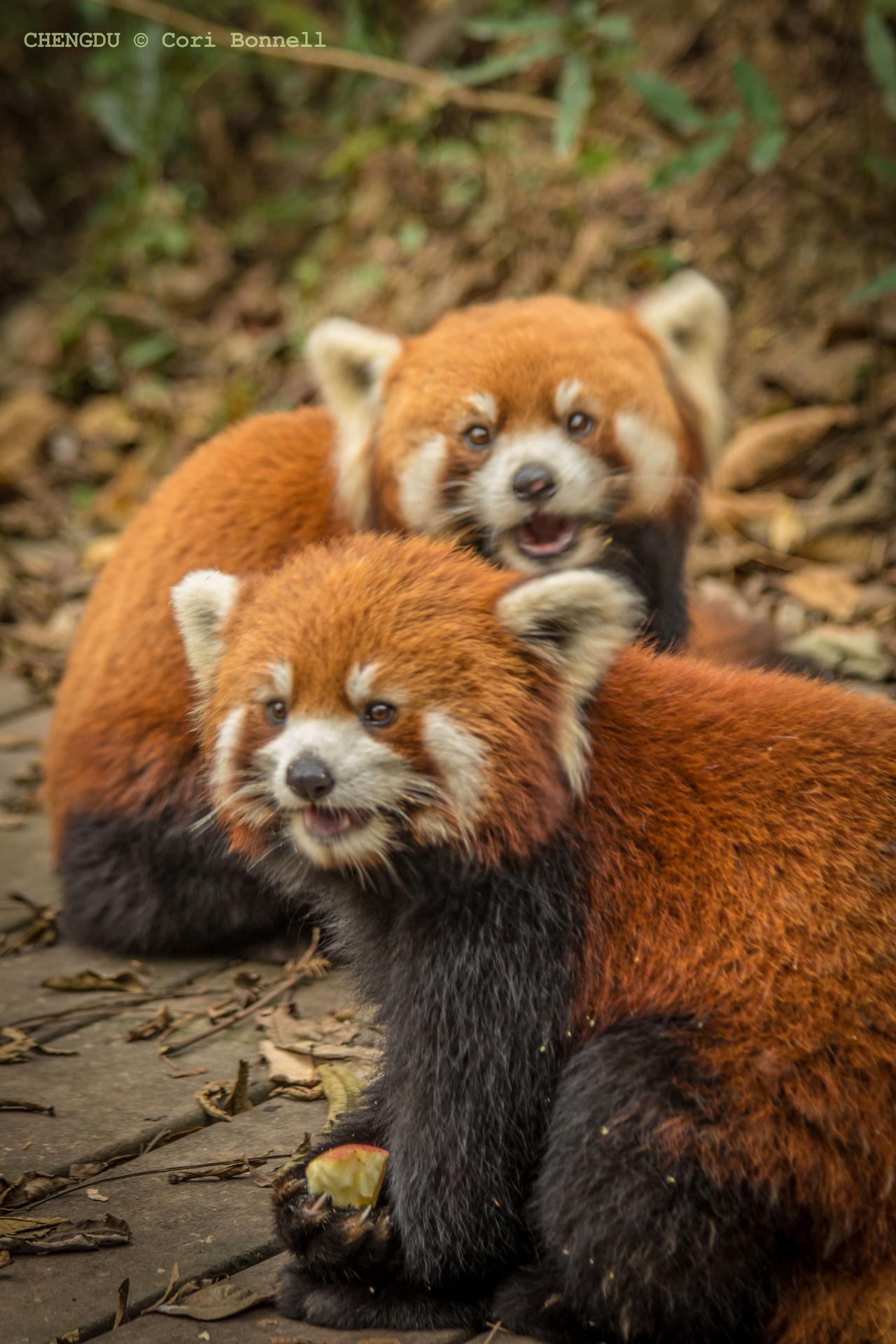 Panda life Animal Themes Chengdu Chengdu Research Base Of Giant Panda China Wildlife Day Focus On Foreground Nature No People Outdoors Panda Red Panda Sichuan Province