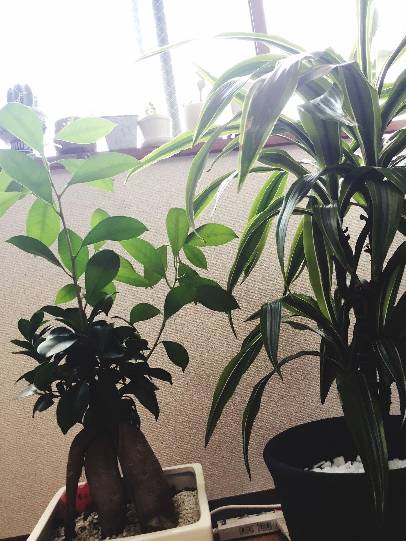 観葉植物 がじゅまる ドラセナ 日光浴 Happy Summer