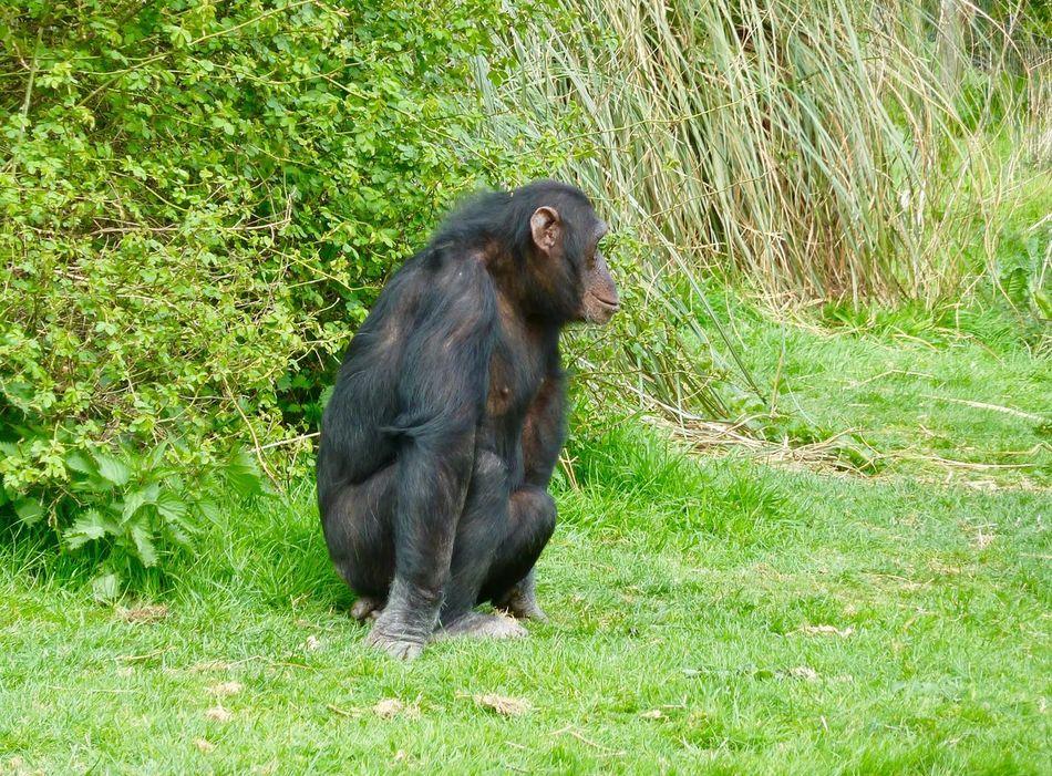 Chimpanzee Whipsnade Zoo Grass Primate Ape Monkey Mammal Chimpanzee One Animal Animal Wildlife Outdoors Animals In The Wild Sitting Nature No People Day Animal Themes Gorilla Baboon