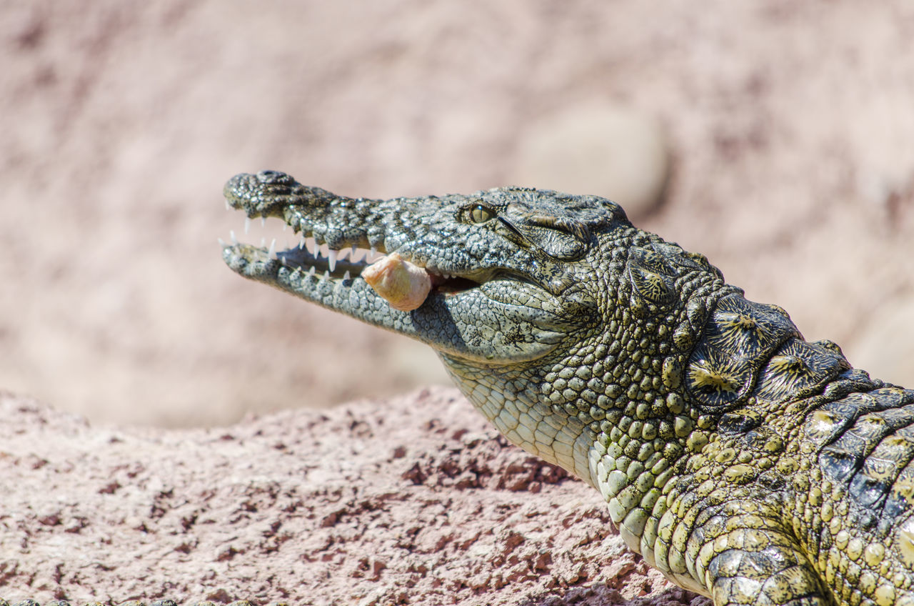 Beautiful stock photos of crocodile, Alertness, Animal Body Part, Animal Head, Animal Themes