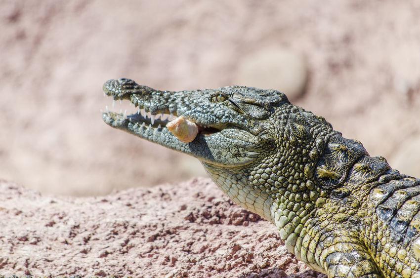 Crocodile Zoology Zoo Animals  Croco Agadir Morroco