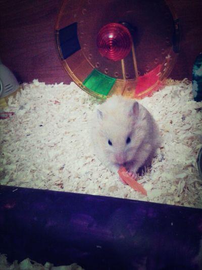 Hamsteeeer ♥ Ilovehamster