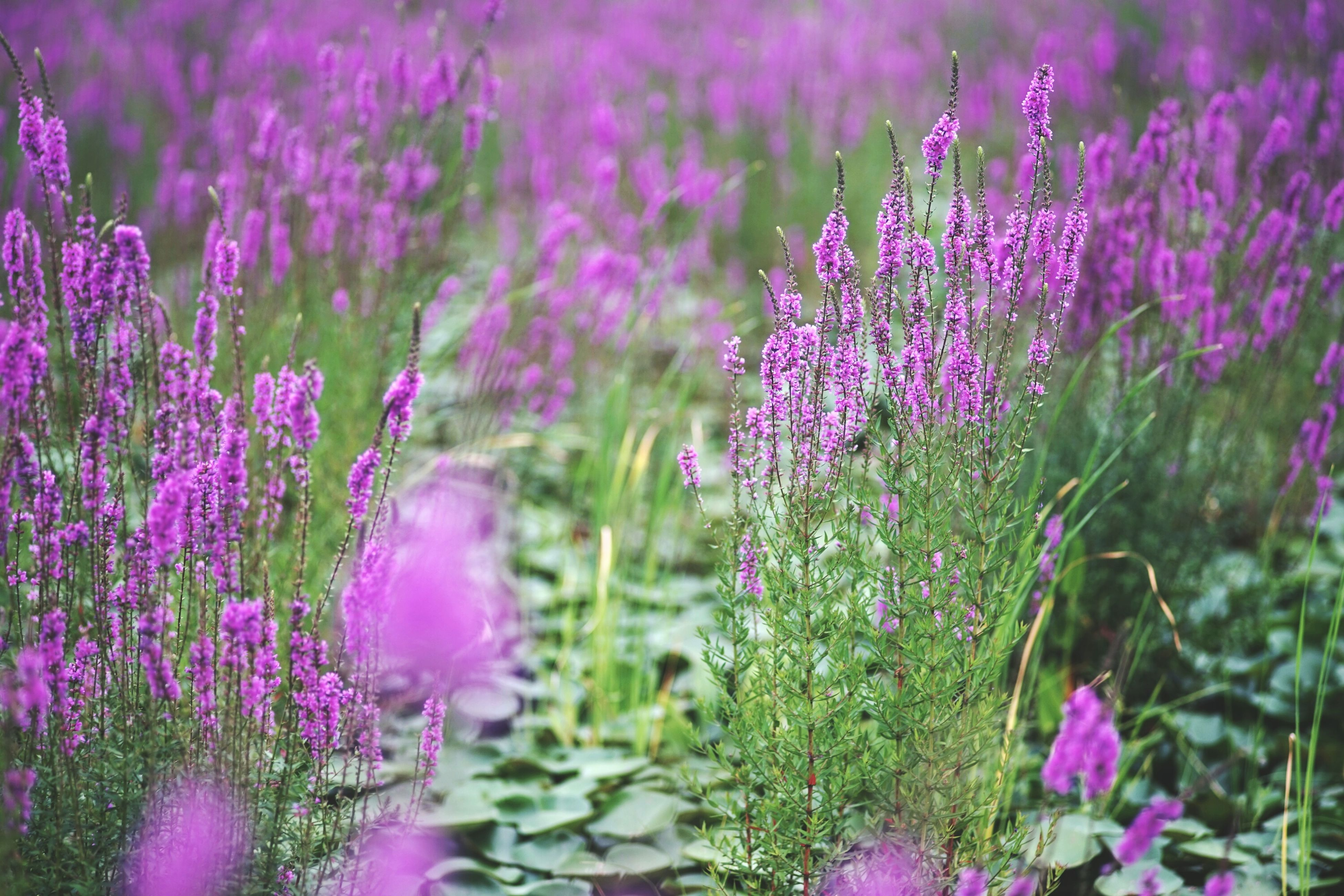 flower, freshness, purple, growth, fragility, beauty in nature, blooming, plant, pink color, nature, petal, in bloom, focus on foreground, field, flower head, close-up, stem, park - man made space, blossom, selective focus