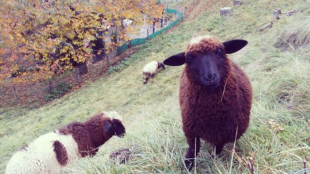 Omg so cute! Spent half an hour watching them chewing grass, total bliss Shaunthesheep Baabaasheep Wengen Cuteanimals Switzerlandalps Naturelovers