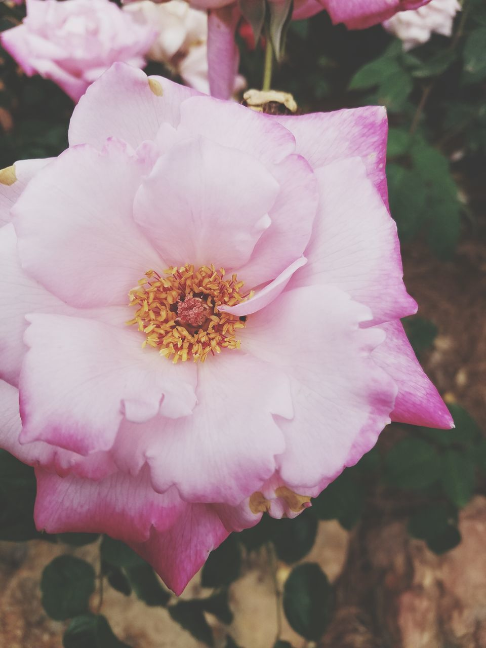 flower, petal, pink color, beauty in nature, flower head, fragility, nature, close-up, outdoors, wild rose, freshness, day, growth, plant, blooming, no people