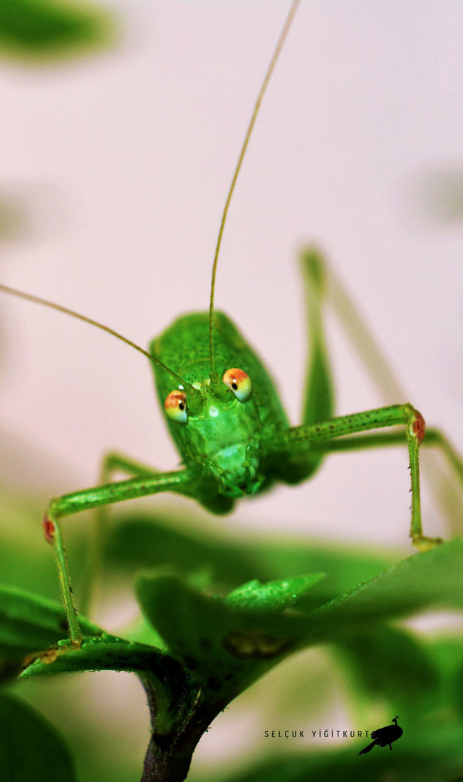 Animal Themes Animals In The Wild Green Green Creature Eyeem Photography Nature Insect Macro Photography One Animal Wildlife çekirge