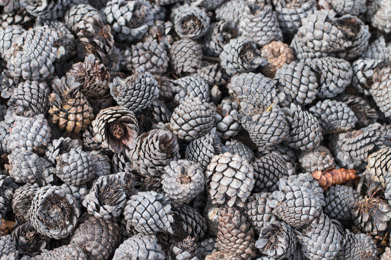 Many dry pine cones in the park. Background. Autumn; Backdrop; Background; Bark; Beautiful; Branch; Brown; Celebration; Christmas; Closeup; Cones; Conifer; Coniferous; Cypress; Decorate; Decoration; Dry; Element; Evergreen; Fall; Flora; Forest; Ground; Heap; Isolated; Many; Natural; Nature; Ornament