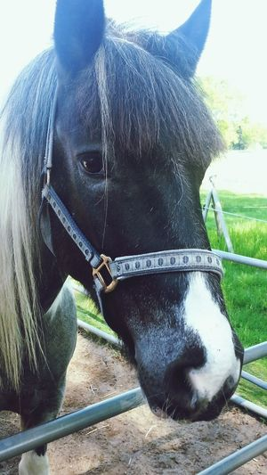horse, pferd, black horse, helle Mähne Horse Domestic Animals Mammal Animal Themes One Animal Paddock Livestock Field Day Outdoors No People Sky Oil Pump