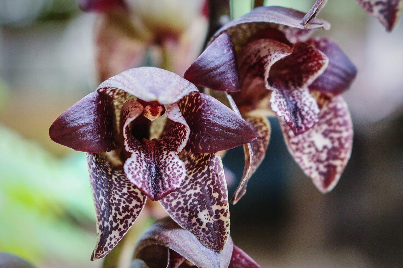 Wild black orchid... Nature Plants Flowers Macro Photography Wonderfulindonesia