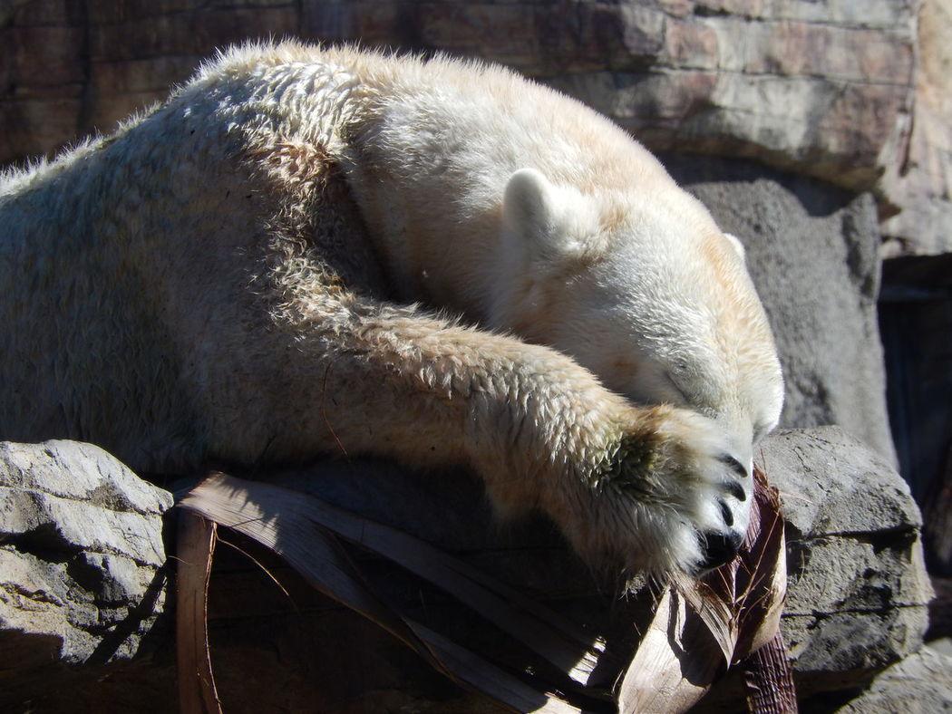 Do not disturb me, I am sleeping! Animals Wildlife Polar Bear