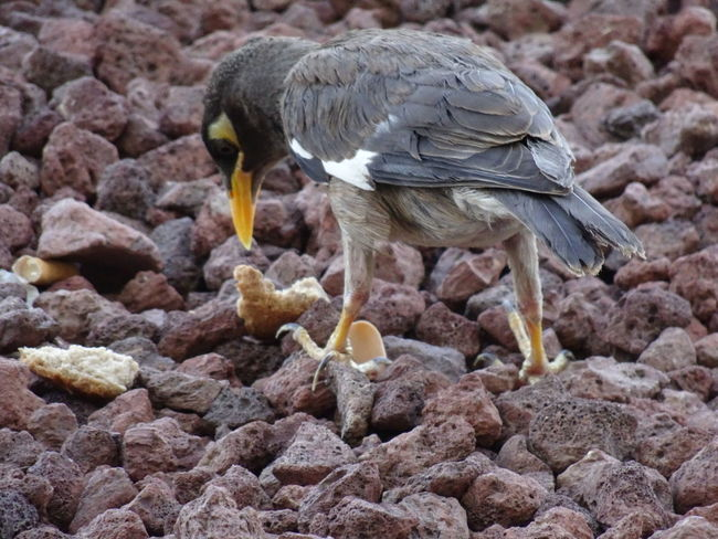 Common Mynah series (6) Acridotheres Tristis Indian Myna Birds EyeEm Birds