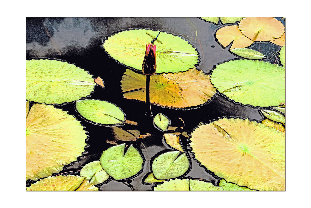 Atlanta Botanical Gardens _ Lilies 4 Lily Pond Nymphaeaceae Reflecting Pool Lily Pads Aquactic Plants Tropical Water Lillies Lotus Garden Garden Photography Garden_collection Nature Landscape Landscape_photography Landscape_Collection Landscape_lovers Fresco