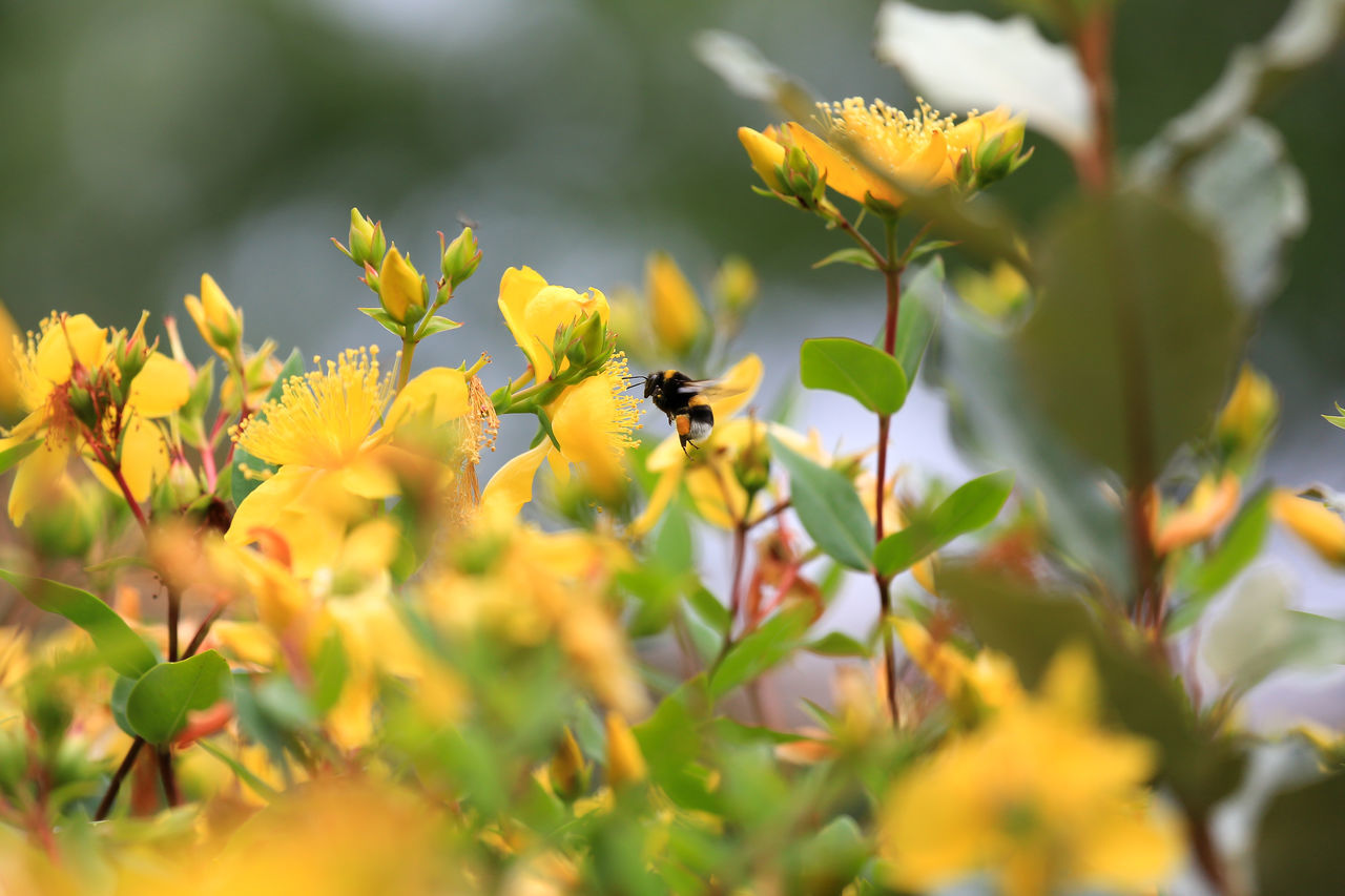 Bee Flying Amidst Yellow Flowers
