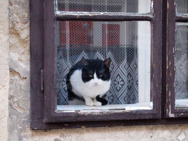 Animal Animal Head  Cat Catathome Catinthewindow Catwatch Domestic Animals Domestic Cat No People Pets Suspiciouscat