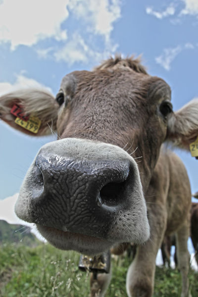 Alertness Animal Animal Head  Animal Themes Bell Close-up Composition Cow Curiosity Domestic Animals Green HDR Hiking Livestock One Animal Outdoors Relaxation Relaxing Side View Sky Standing Nose