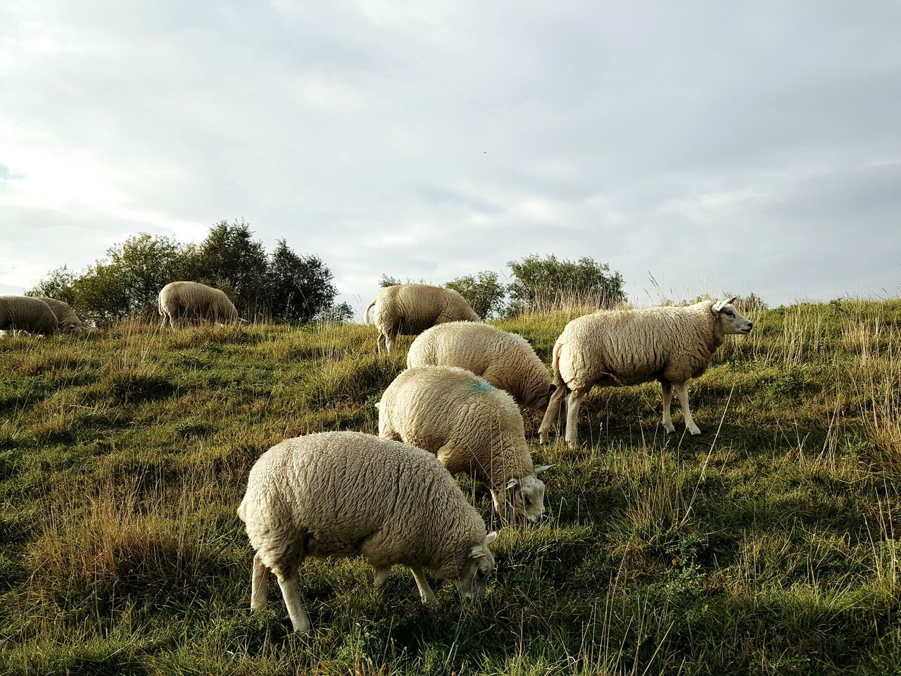 Nature Landscape Cloud - Sky Animal Themes Beauty In Nature Animal Animals Animal Photography Animal_collection Animal Eye Sheep Sheeps Sheep🐑 Horticulture Grass Grassland Taking Photos Taking Pictures Grassing Mammal Dutch Landscape Dutch Countyside Dutch Countryside