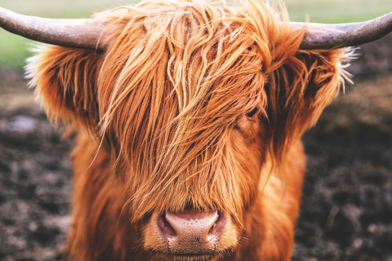 Highland cow Brown Bull Cow Highland Cattle Horned Livestock Nature One Animal Outdoors Scotland Scottish Highlands