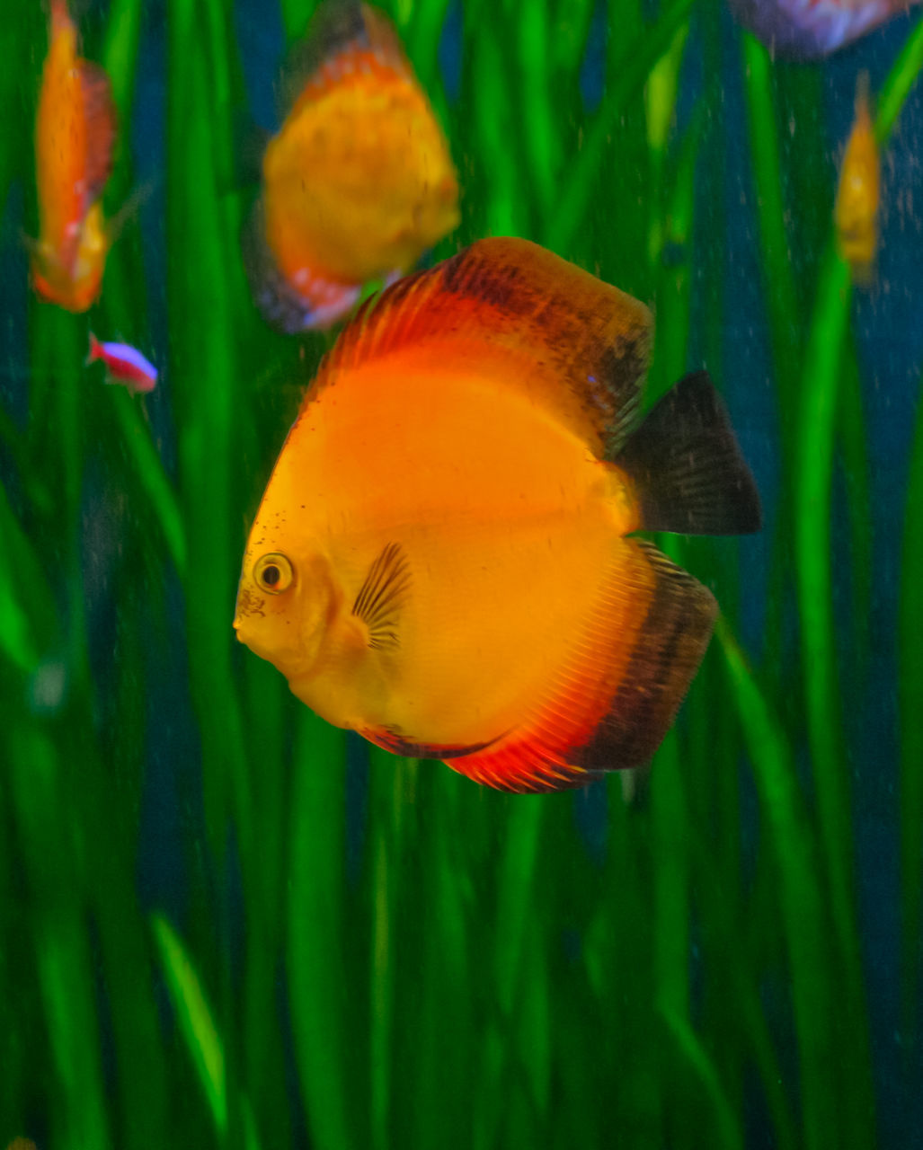 animal themes, fish, swimming, water, underwater, animals in the wild, sea life, no people, animal wildlife, nature, close-up, goldfish, beauty in nature, undersea, day
