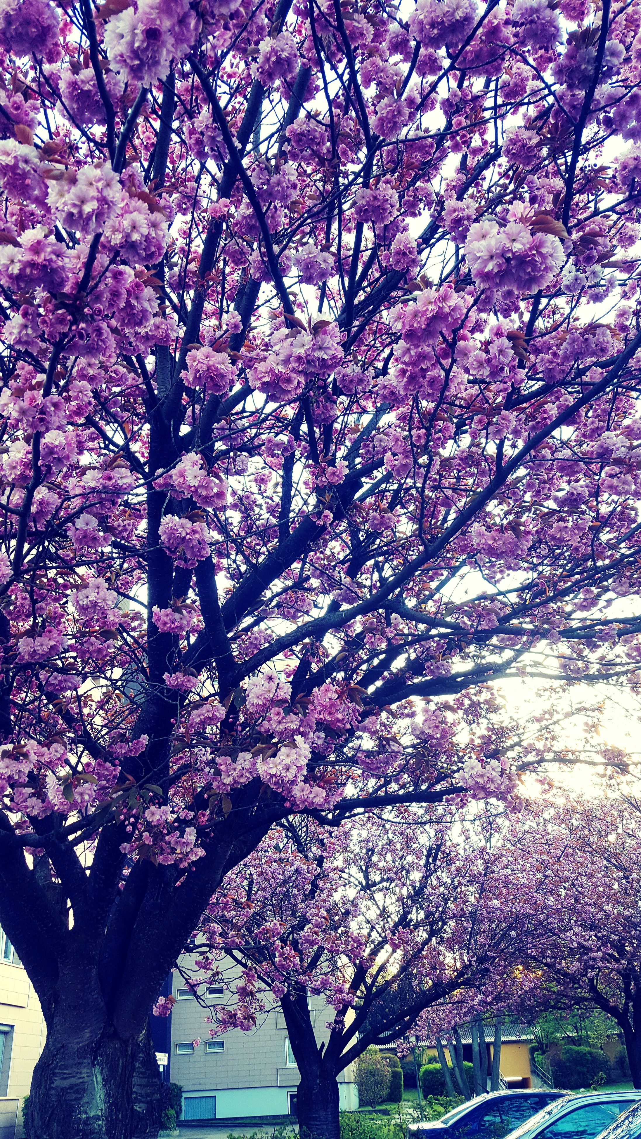 flower, tree, branch, growth, cherry blossom, pink color, freshness, blossom, beauty in nature, cherry tree, fragility, nature, in bloom, springtime, blooming, day, season, park - man made space, low angle view, outdoors