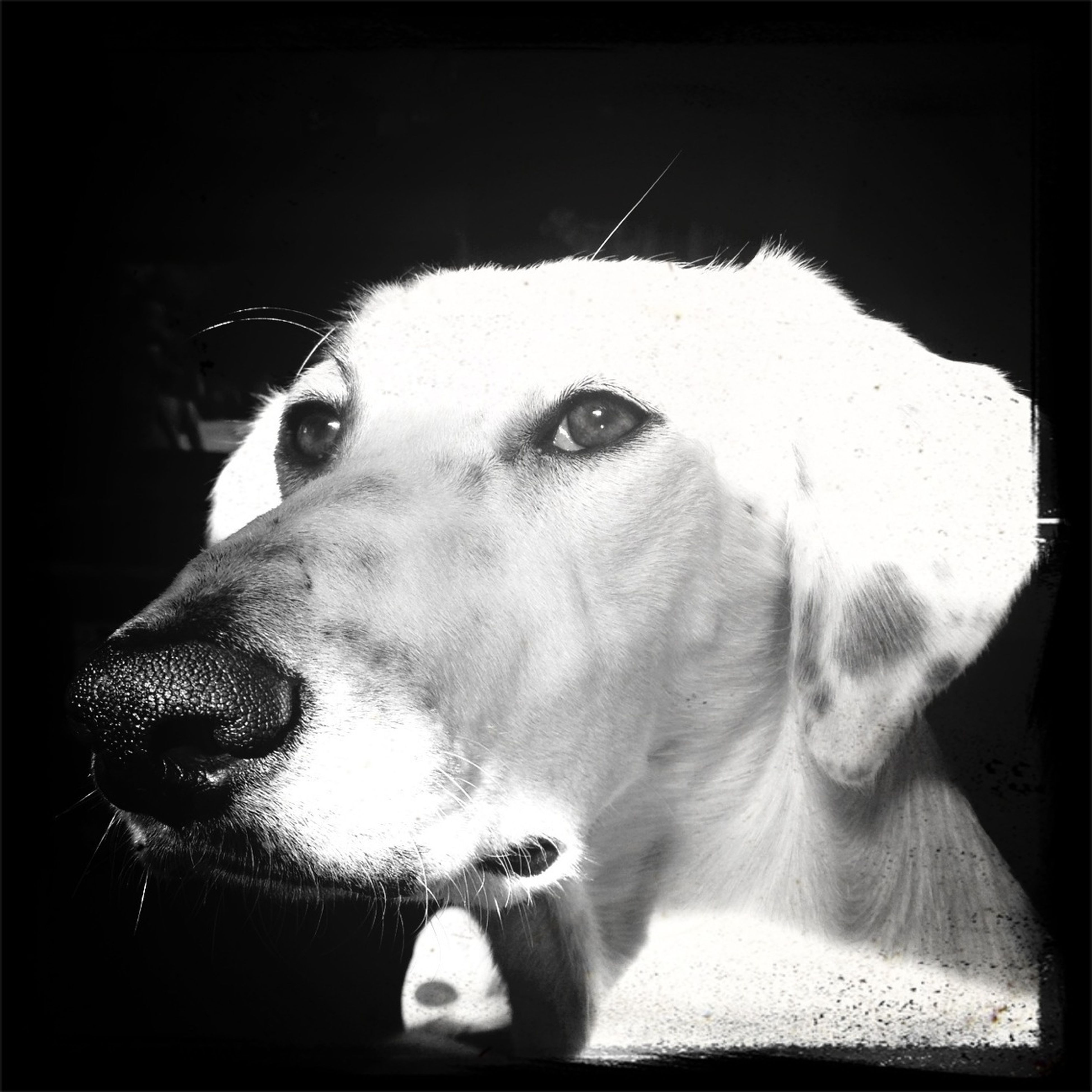 domestic animals, animal themes, dog, one animal, pets, mammal, animal head, indoors, close-up, portrait, looking at camera, animal body part, loyalty, zoology, home interior, front view, pampered pets, snout, focus on foreground