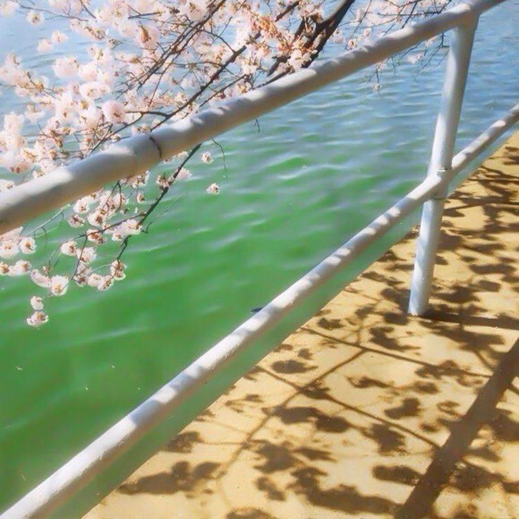 Cherry Blossoms and their shadows, at the Tidal Basin