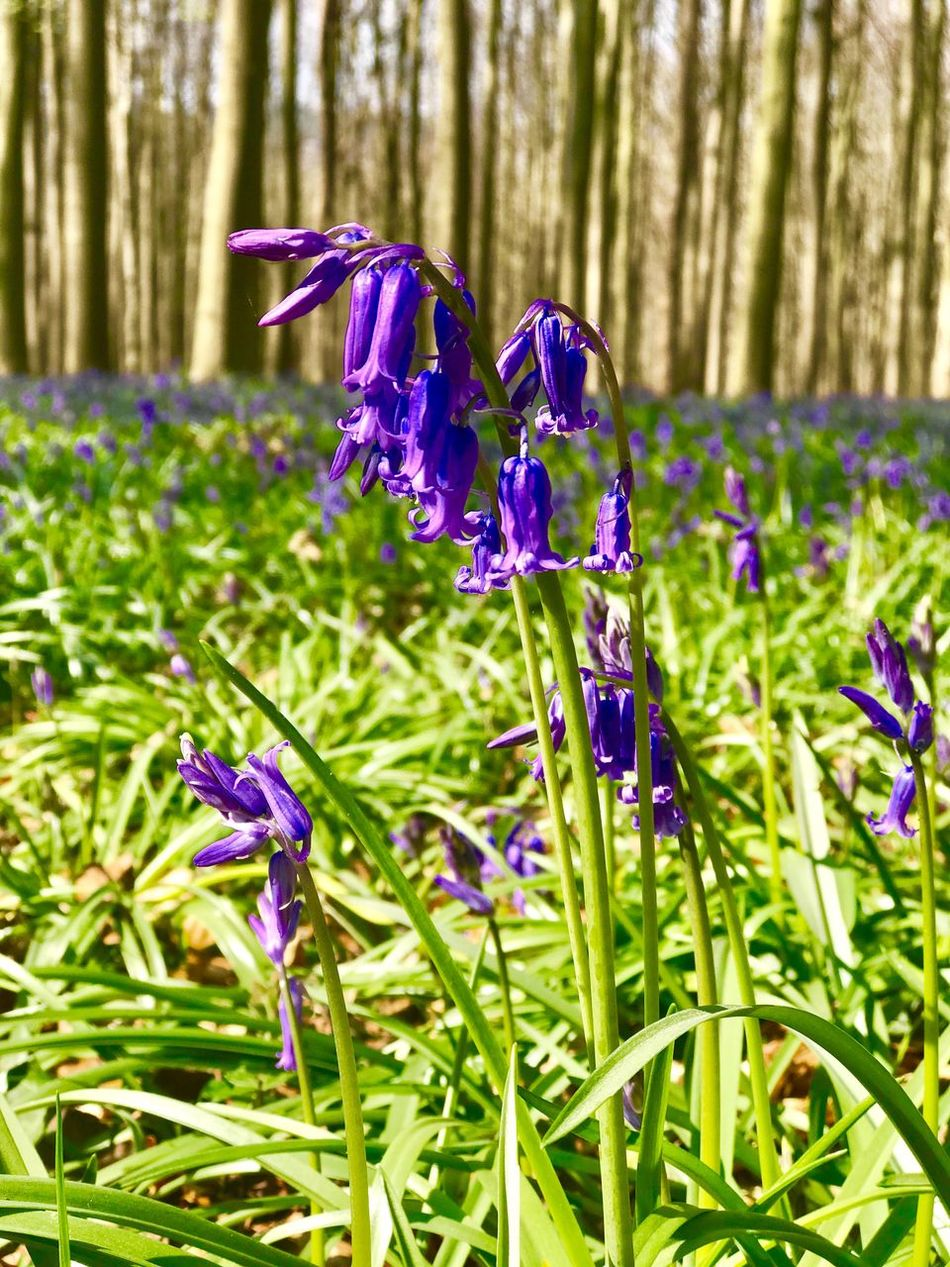 Hallerbos Purple Wild Hyacinth
