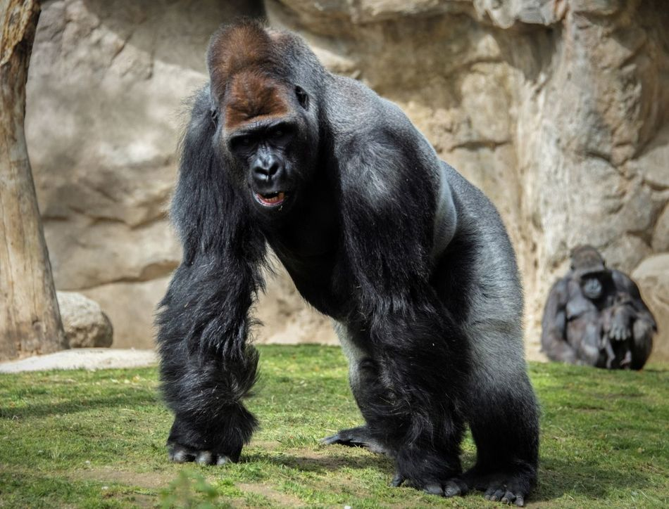 Beautiful stock photos of gorillas, , Animal Themes, Animals In Captivity, Day