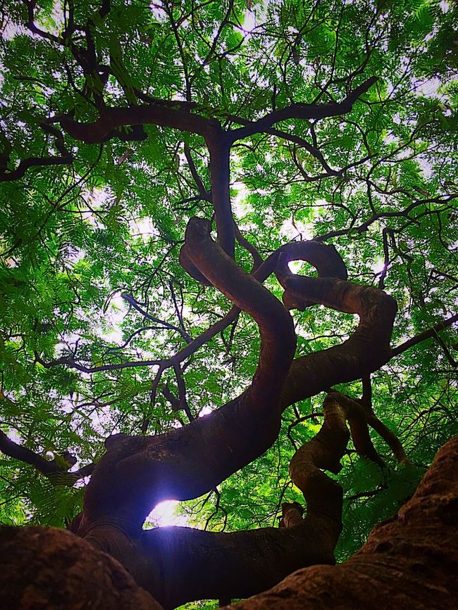 Tree Branch Low Angle View Tree Trunk Growth Nature Scenics Green Color Lush Foliage Blorediaries Botany CubbonPark IPhoneography