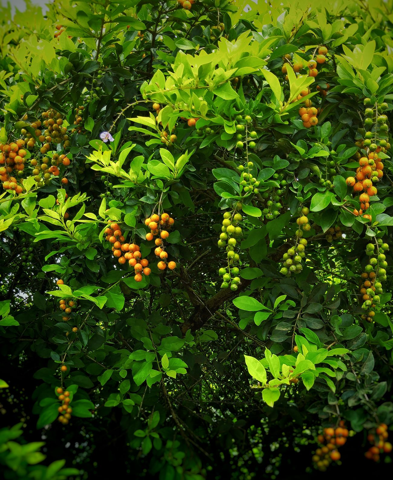Berrys Fruit Citrus Fruit Green Color Growth Tree Food Nature No People Freshness Food And Drink Outdoors Healthy Eating Leaf Close-up Day