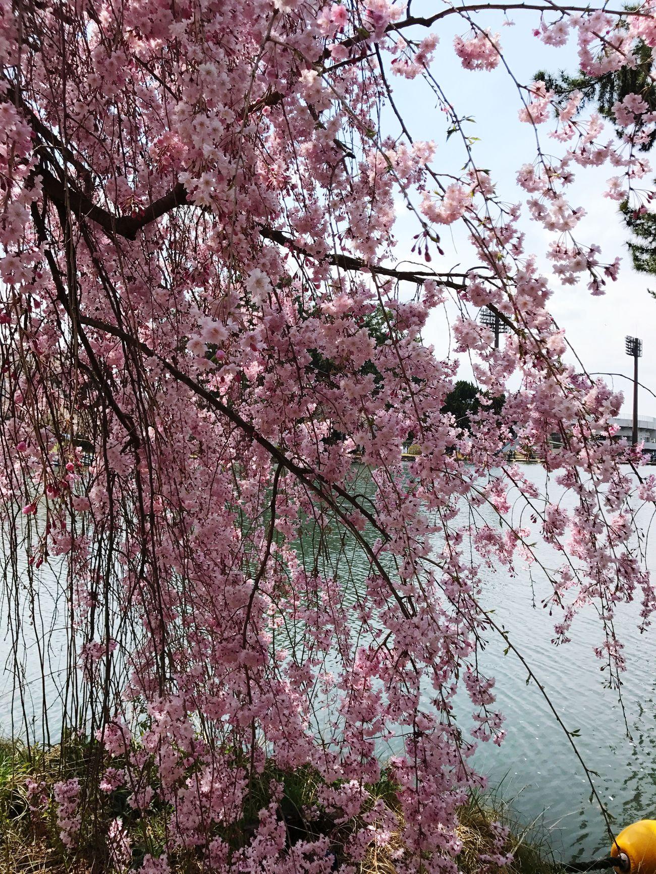 Cherry Blossom 🌸🌸🌸