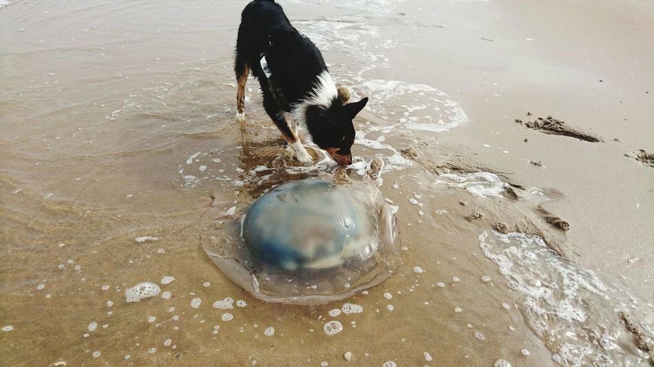 Giant Jellyfish Roef!! Austrailiansheperdmix Beach Marine Life Sand Jellyfish Blue