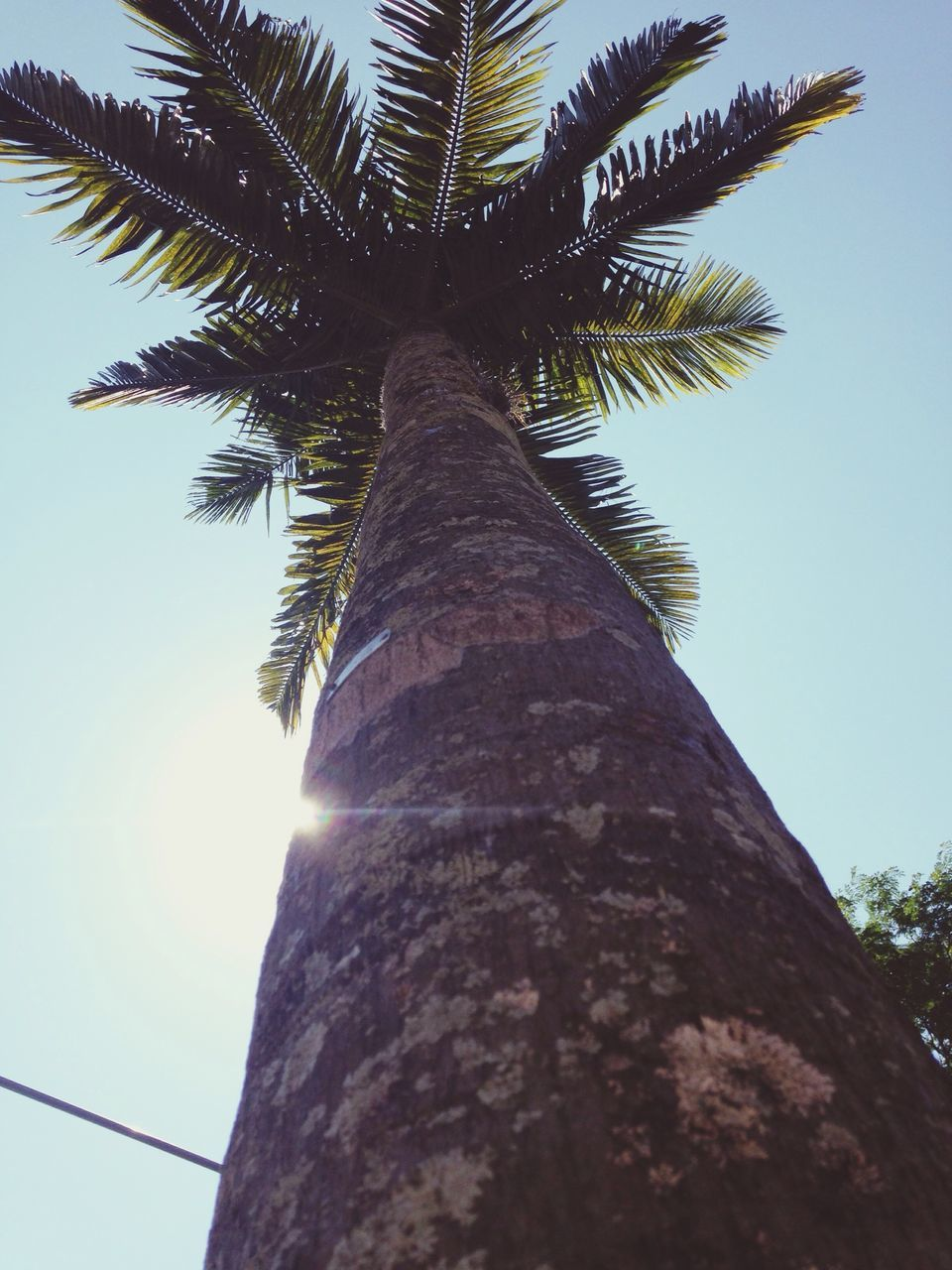 palm tree, tree trunk, tree, low angle view, tall - high, growth, nature, outdoors, day, sky, no people, beauty in nature, palm frond, clear sky, sunlight, scenics, tall, close-up