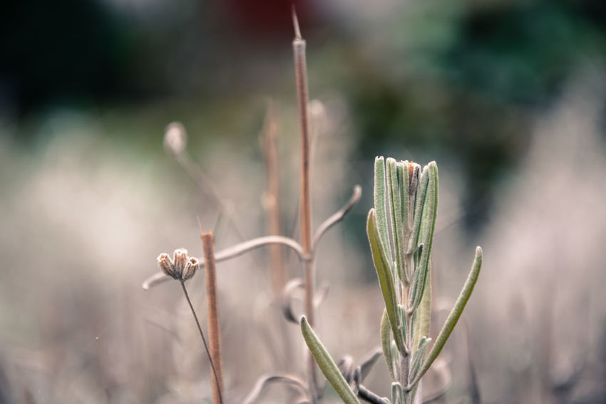Dry Lavander Rosemary Herb Plant Growth Beauty In Nature Dry Plant Close Up Photography Close-up Focus On Foreground Blury Background Bokeh Background Bokeh Photography Nature_collection Nature Photography
