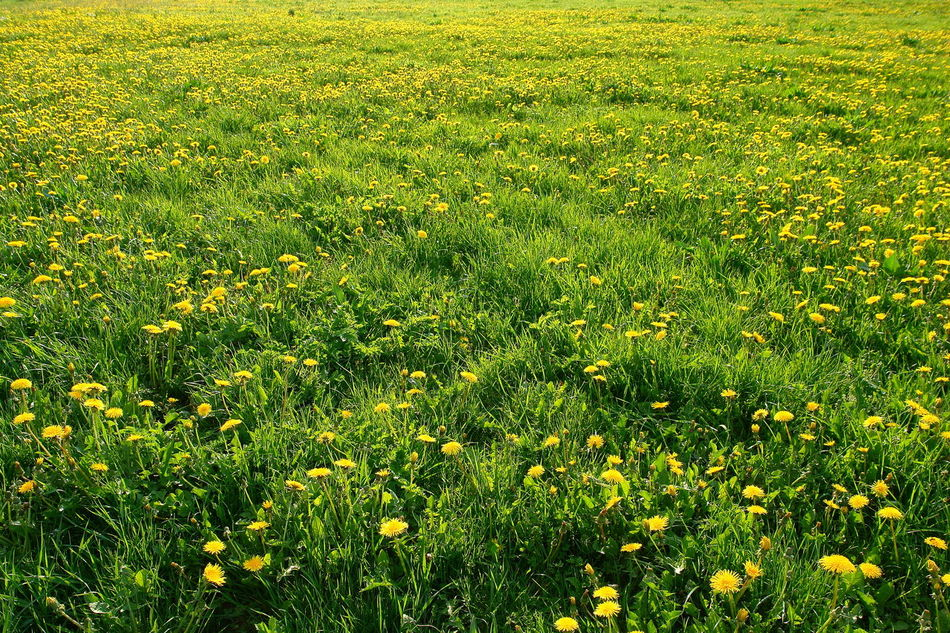 Agricultural Land Backgrounds Beauty In Nature Blooming Blooming In Spring Dandelion Meadow Dandelions Day Field Freshness Grass Grass Grassland Green Color Green Color Growth Meadow Meadow Flowers Meadowlands Nature No People Outdoors Spring Springtime Yellow Flowers