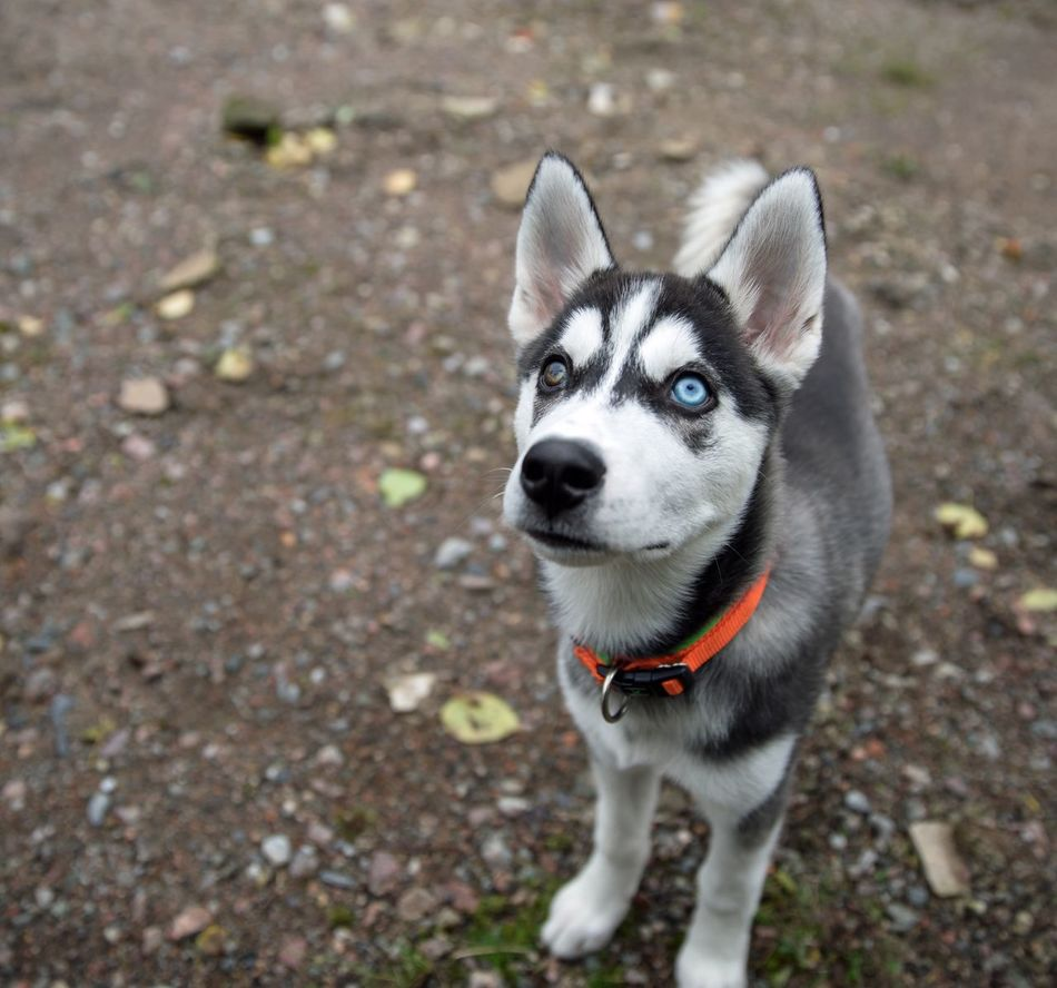 Beautiful stock photos of puppy, Animal Collar, Animal Eye, Blue Eyes, Brown Eyes